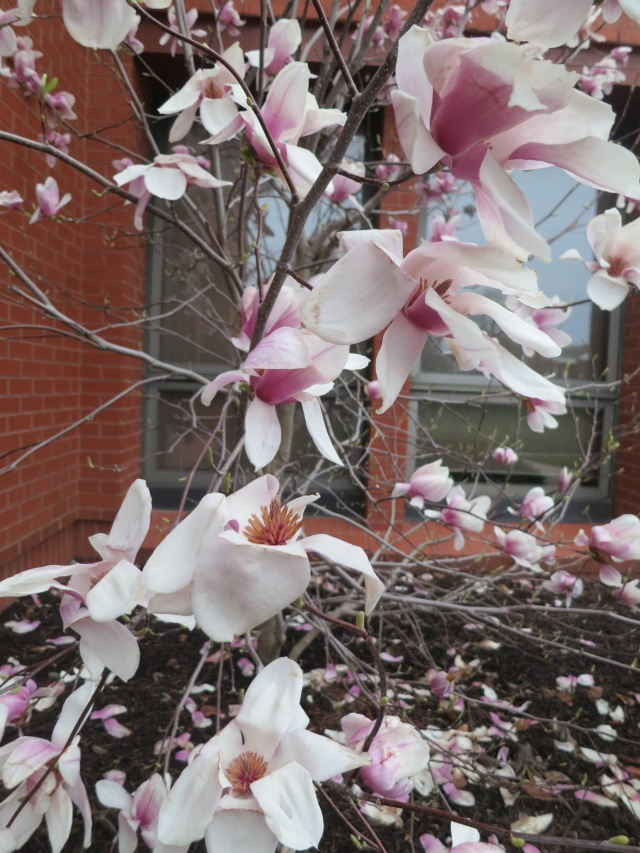 Blossoms on a small tulip tree outside the Harrisonville library.